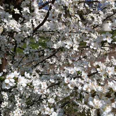 Rosa primavera